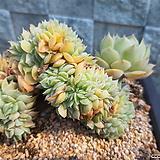 온슬로우철화 대품|Echeveria cv  Onslow