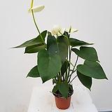 안시리움(흰꽃)