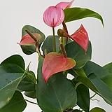 안시리움(분홍색) Anthurium andraeaeanum