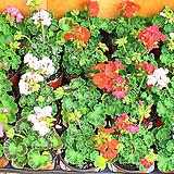 제라늄(꽃색상은 렌덤으로 발송해드립니댜)|Geranium/Pelargonium