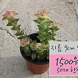 남십자성 (Crassula Perforata v. variegata) 지름 9cm 소품 다육화분 1500원(50개한정) (단일품목 구매시 5천원 이상 배송가능)|Crassula perforate var