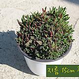 쿠페리 (피크투라타 Picturata) 지름 15cm 중품 다육화분|Haworthia cooperi