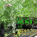피나타 라벤더. 레이스 라벤다 (Pinata Lavender, Lace lavender) 허브모종 700원 (단일품목구매시 5천원 이상 배송가능)