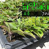 파인애플세이지(PineappleSage) 허브모종 700원 (5000원이상 배송가능)