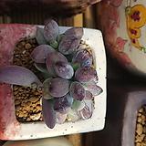 방울복랑호피금|Cotyledon orbiculata cv