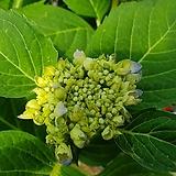 마크로필라 스텐다드수국 블루|Hydrangea macrophylla
