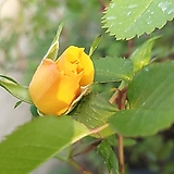 장미찔레(오렌지색) 찔레장미|