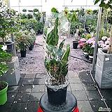 (중품)금전수(돈나무) 개업선물 공기정화식물|Zamioculcas zamiifolia