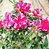 철쭉(선녀꽃 블레이즈) 불꽃철쭉|Crassula Americana cv.Flame