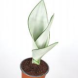 문샤인 / 산세베리아 / 플랜테리어 / 공기정화식물|Sansevieria