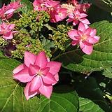 별수국 산수국 외목대로 예쁘게~~^^|Hydrangea macrophylla