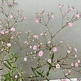 야생안개꽃