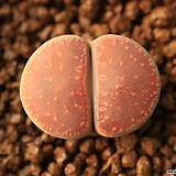 D45_ aucampiae chocolate puddles|