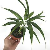 아레카 / 아레카야자 / 공기정화식물|