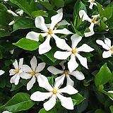 열매치자나무(꽃대가득)|