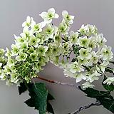떡갈잎수국(겹꽃수형/5)-동일품배송|Hydrangea macrophylla