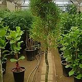 [대품]대나무(마다기 짧고 휘어진 수형이 멋진 대나무 입니다!~)/서울, 경기 직배송 상품입니다!|