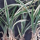 일향금 (3~4촉)/난/서양란/동양란/공기정화식물/옹기/화분/농장/식물/꽃/나라아트 