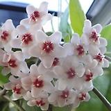 꽃피는황금호야 오래키운롱대품 초코렛향기|Hoya carnosa