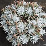 대품 화이트그리니 자연군생|Dudleya White gnoma(White greenii / White sprite)