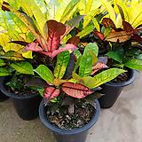 신종크로톤-그라데이션-공기정화탁월|Codiaeum Variegatum Blume Var Hookerianum