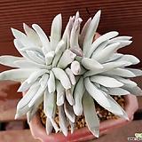 블러쳐스 0517|Dudleya farinosa Bluff Lettuce
