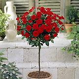 외목수형 사계장미 레드 계열♥스탠다드 로즈♥사계절 꽃이 피고지는 장미꽃나무♥하이브리드티♥HT 사계 장미 장미꽃 장미나무 꽃나무|