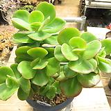 묵은 홍매화(군생목대/붉게물듬)-184 Echeveria Multicalulis  Ginmei Tennyo