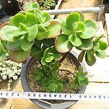 묵은 홍매화(대품군생목대/붉게물듬)-184 Echeveria Multicalulis  Ginmei Tennyo
