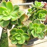 묵은 홍매화(대품군생목대/붉게물듬)-423 Echeveria Multicalulis  Ginmei Tennyo