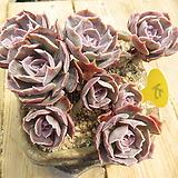 오래묵은 긴잎핑키(컷팅군생목대)-31 Echeveria cv Pinky