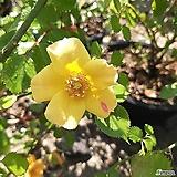 노란꽃 찔레|