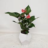 안시리움 공기정화식물|Anthurium andraeaeanum
