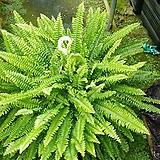 보스톤고사리오래키운풍성한것(포름알데히드제거1위)|Nephrolepis exaltata Bostoniensis