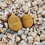 마우가니피치칼라|Conophytum maughanii
