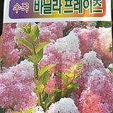 핑크수국 바닐라프레이즈 목수국 노지월동|Sedeveria Pudgy