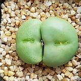 Conophytum wettsteinii웨스트니 (일본수입.분채배송)|