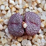 C.obcordellum v.ceresianum stayneri 스테이너리(일본수입.분채배송)|