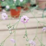 겹안개패랭이(분홍색 겹꽃이 이쁜 아이~)-노지월동 가능|