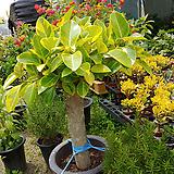 골드뱅갈고무나무-두껍고멋진원목가지|Ficus elastica