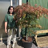 왜성종단풍나무 가닛 최대높이2.5미터 정도 성장합니다.|