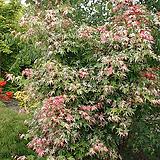 무늬단풍나무(떠오는태양) 아사이단풍 봄여름가을 멋진 잎을 가진품종이죠. 가을단풍도 굿.. 전국노지월동가능 최대높이2.5미터 정도 입니다.|