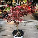 홍단풍 붉은단풍나무|