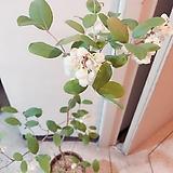 은방울나무(꽃이 조롱조롱 묵은목대의 아름다움이 멋스런)수제항아리분 완성분세트/분갈이/마사/약100~110cm/특대 