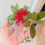 병솔나무(아름다운 꽃송이와 묵은목대가 매력적)수제분세트/분갈이/마사 Handmade Flower pot