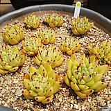 골드동운철화,골드동운모듬 0544|Echeveria agavoides f.cristata Echeveria