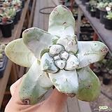 야생 파키피덤 (목대확인해주세요)|Dudleya pachyphytum