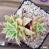 짧은잎적성(적심|Echeveria agavoides Akaihosi