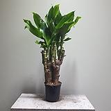 황금죽 행운목 공기정화식물 35508950|