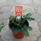 미모사/움직이는식물 